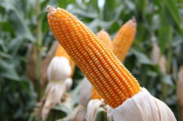 corn-774710_640