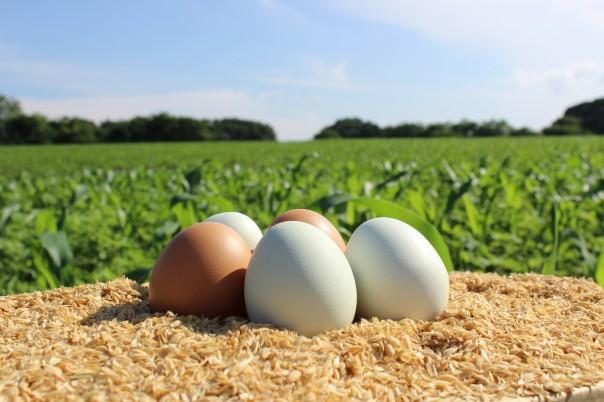 トウモロコシ畑を背景にした卵 (72)