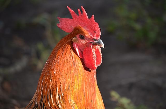 筋肉に欠かせない鶏胸肉VS鶏のささみ