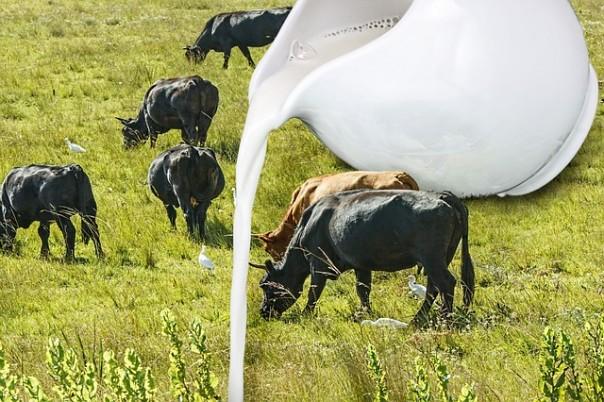 cow-653296_640